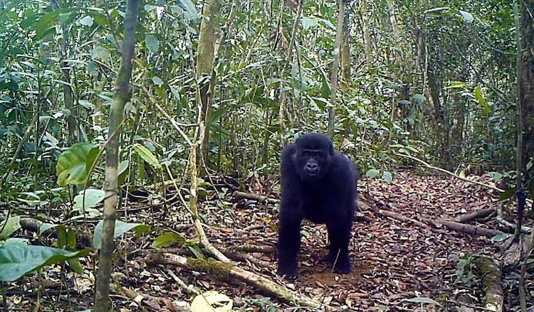 Photo. Gorilla in the Ebo Forest, located in Southwestern Cameroon. San-Diego Global Zoo
