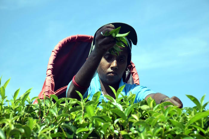 Shashi Kala – a tea worker at the Bearwell tea estate in western Sri Lanka's Sabaragamuwa province – one of the plantations that has adopted sustainable land management measures to plug draining of its profits. Credit: Stella Paul.